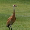 Sandhill crane at Kensington Metro Park near Brighton, MI