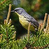 Kirtland's warbler male at Hartwick Pines State Park in northern Michigan