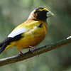 Evening grosbeak at Hartwick Pines State Park in northern Michigan