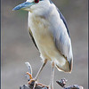 Black-crowned night heron; Cincinnati