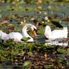 Mute swans; Kensington MI