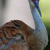 Sandhill crane; Kensington MI
