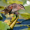 Red-winged blackbird juvenile