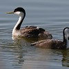 Western grebes and young at Lake Andes NWR in South Dakota