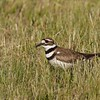 Killdeer at Niobrara State Park in Nebraska