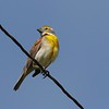 Dickcissel at Niobrara