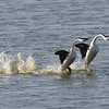 Dancing western grebes at Lake Andes NWR in South Dakota