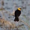 Yellow-headed blackbird male at Lake Andes NWR in South Dakota