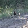 Pheasants at Lake Andes NWR in South Dakota