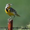 Western meadowlark at Niobrara