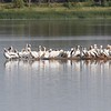 White pelicans at Lake Andes NWR in South Dakota