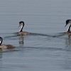 Trio of western grebes at Lake Andes NWR in South Dakota