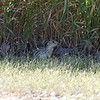 Thirteen-lined ground squirrel at Lake Andes NWR in South Dakota
