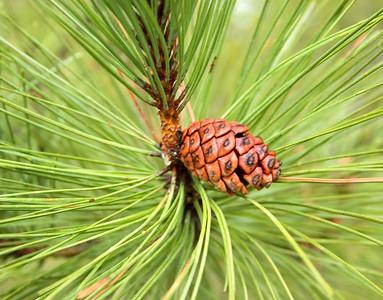 Pine Cone I