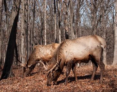 Elk, Lone Elk Park (1/2/2010)