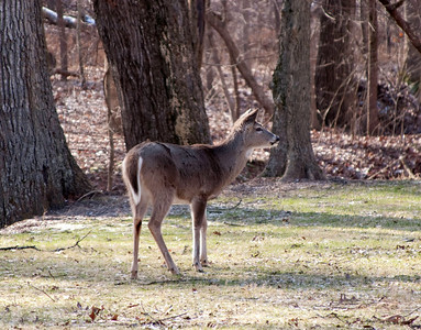 Whitetail Deer, Lone Elk Park (1/2/2010)