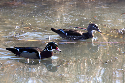 Wood ducks in stream in Forest Park