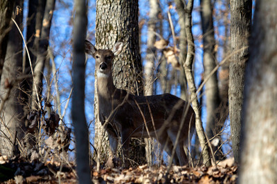 Whitetail deer (doe) along Hickory Ridge Trail at Powder Valley Conservation Nature Center