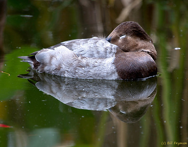 Waterfowl reflection
