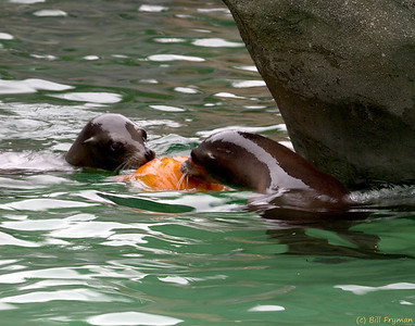 Sea lions playing with pumpkin.