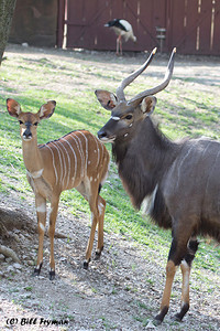 Lesser kudu, another youngster with an adult