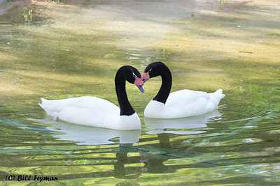 Black necked swans.  Almost got that perfect heart as they were meeting.