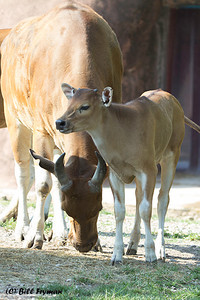 Banteng.  Another of today's young