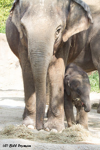 Asian elephants.  A third youngster