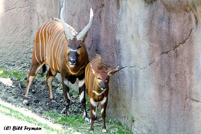 Mountain bongo.  One of today's young