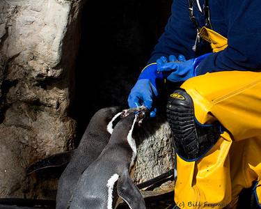 Hand feeding the Humboldt Penguins