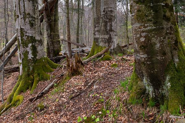 Wiosna w buczynie Bieszczady ©Mateusz Matysiak