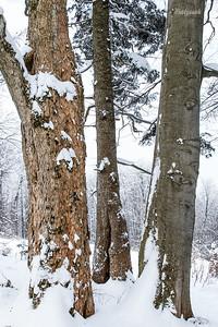 Trzej Królowie karpackich lasów