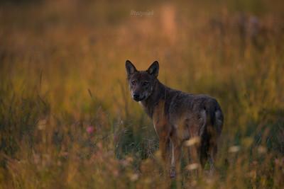 Wilk (Canis lupus) Bieszczady, sierpień 2017 ©Mateusz Matysiak