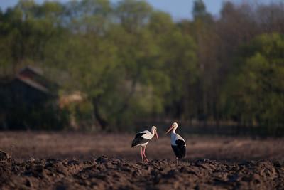 Para w polu