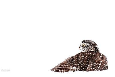 Sóweczka (Glaucidium passerinum) w trakcie polowania. Ptak chwyta w szpony gryzonia złowionego pod śniegiem. Bieszczady ©Mateusz Matysiak