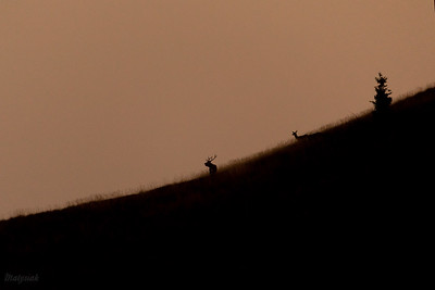 Jeleń szlachetny (Cervus elaphus) Rykowisko na połoninie Bieszczady ©Mateusz Matysiak