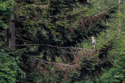 Czapla siwa (Ardea cinerea) Dolina Sanu, Bieszczady ©Mateusz Matysiak