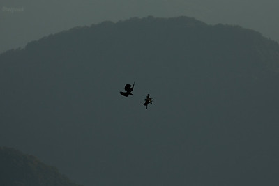 Para kruków (Corvus corax) w trakcie akrobatycznych zabaw na wietrze Bieszczady ©Mateusz Matysiak
