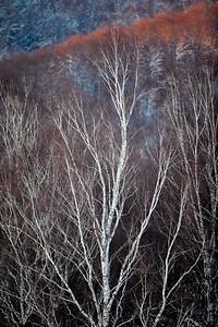 Zimowe brzozy u podnóża Otrytu Bieszczady ©Mateusz Matysiak