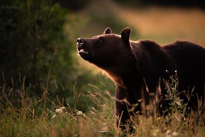 Węszący niedźwiedź brunatny (Ursus arctos) Bieszczady ©Mateusz Matysiak