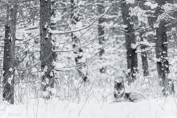 Idylla w wilczym lesie