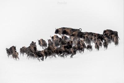 Chmara żubrów (Bison bonasus) w galopie ©Mateusz Matysiak