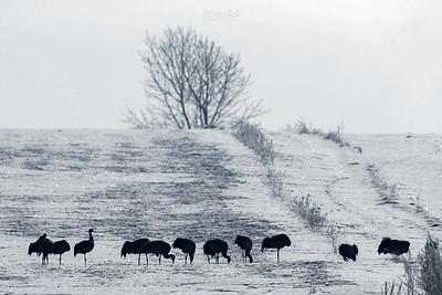 Stado żurawi (Grus grus) zimujących na polach w dolinie Biebrzy ©Mateusz Matysiak