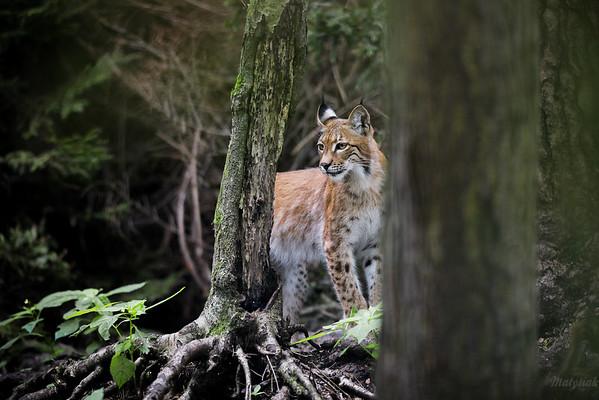 Młody ryś euroazjatycki (Lynx lynx) Puszcza Piska ©Mateusz Matysiak