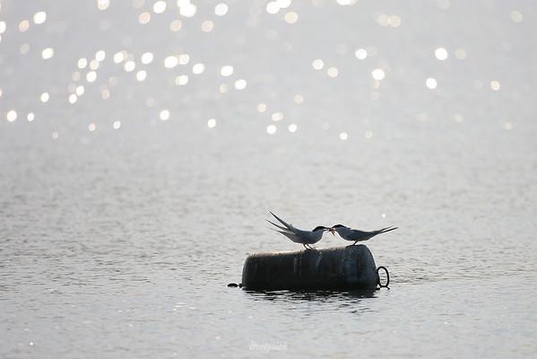 Para rybitw rzecznych (Sterna hirundo) podczas przekazywania godowego prezentu pod postacią złowionej rybki ©Mateusz Matysiak