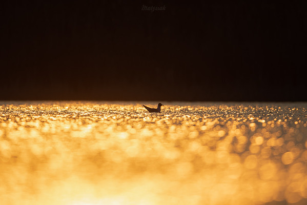 Śmieszka (Chroicocephalus ridibundus) na tafli stawu w kontrze zachodzącego słońca ©Mateusz Matysiak