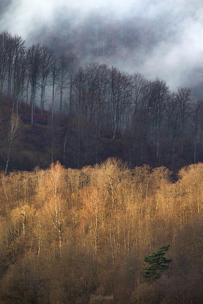 Sosna w lesie pod buczyną