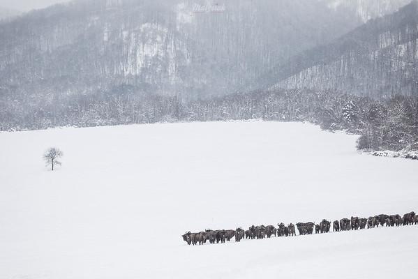 Duża chmara żubrów (Bison bonasus) Bieszczady ©Mateusz Matysiak