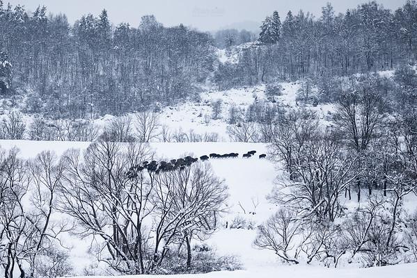 Przemieszczająca się chmara żubrów (Bison bonasus) Dolina Sanu, Bieszczady ©Mateusz Matysiak