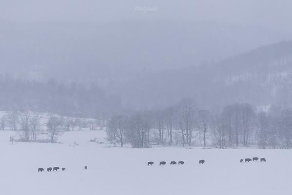 Wędrujące żubry (Bison bonasus) ©Mateusz Matysiak